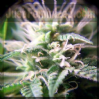 Female Purple Maroc Female 1 Single Ganja Seed